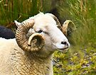 Sheep at Kessane Farm by Yukondick