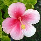 Pink Hibiscus by KimMageePhotos