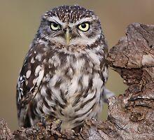 Little Owl by Graham Jones