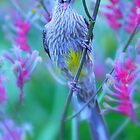 Honeyeater amongst the Kangaroo Paws by Jill Fisher