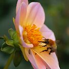 Bumble bee gathering pollen from a pink flower by AlbertLake