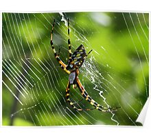 Black and yellow garden spider(orbweaver) Poster
