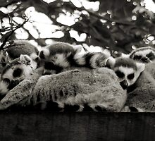 Lemur - Keeping warm by AmandaJanePhoto