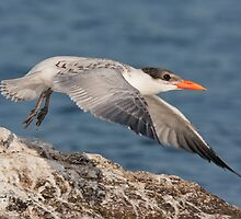 Juvenile Caspian Tern Take Off by DigitallyStill