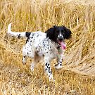 Gundog - Aran - Large Munsterlander by Sandra O'Connor