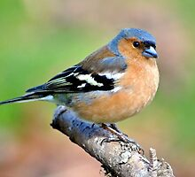 Chaffinch (male) by Margaret S Sweeny