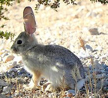 Cotton Tail Rabbit by Darcy Grizzle