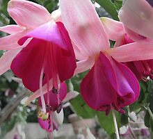 Fuchsia by orko
