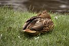 Sleeping Mallard Duck by April Koehler