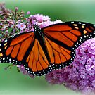 Nature's Beauty~The Monarch Butterfly by smalletphotos