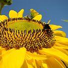 Big Yellow Summer Sunflower art print Bublebee Baslee by BasleeArtPrints
