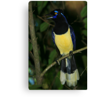 Plush-crested Jay Canvas Print