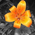 Orange Lily B&W by ZeroCat85