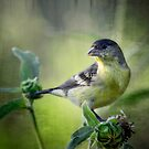 A Lesser Goldfinch  by Saija  Lehtonen