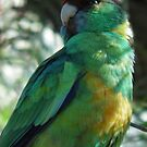 Port Lincoln Parrot - Crystal Brook, South Australia by Dan &amp; Emma Monceaux