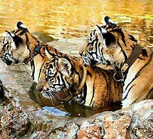 Trio of Tiger Cubs, Kanchanaburi, Thailand  by Carole-Anne