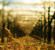 loose lens vineyard by tobyharvard