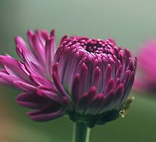 Budding purple by IngeHG