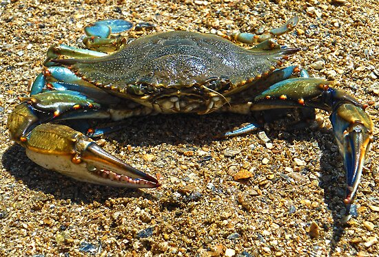 Blue Crab by ☼Laughing Bones☾