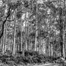 Karri Tree Forest by Eve Parry