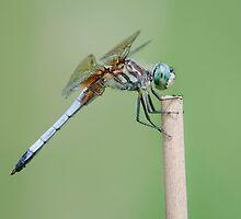 Blue Dasher Dragonfly by (Tallow) Dave  Van de Laar