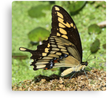 Eastern tiger swallowtail side-on Canvas Print