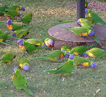 'LOOKING FOR LEFT OVERS!' colourful Rainbow Lorikeets, Goondiwindi.Q. by Rita Blom