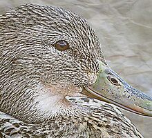Female Mallard by saseoche