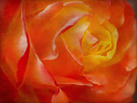 Passionate rose by Celeste Mookherjee