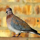 Laughing Dove by Elizabeth Kendall