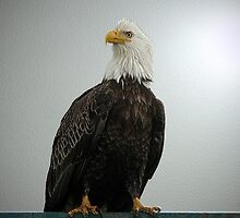 The Bald Eagle Stare by Gail Bridger