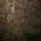 ghost kangaroo by Richard Morden