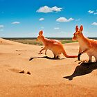 kangaroos of the sand dunes by Richard Morden