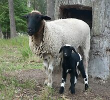 Baby Pinto Lamb & Mum by louisegreen