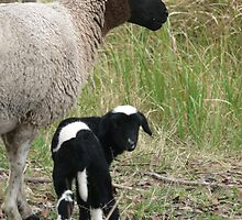 Little Pinto Lamb by louisegreen