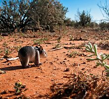 wandering wombat by Richard Morden