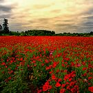 Red Poppies by Charles &amp; Patricia   Harkins ~ Picture Oregon