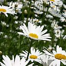 Hereford Daisies by maekstar