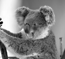 Koala in B&W, Gold Coast, Australia by krista121