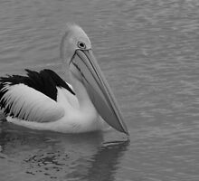Pelican in B&W, Gold Coast, Australia by krista121