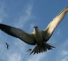 Sooty Tern in flight by calummaimages