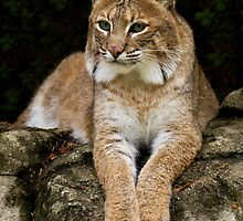 Bobcat (Lynx rufus) by Jeff Weymier