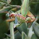 Mantis Death Match ! by robkal