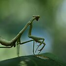 Summer Mantis by Dennis Stewart