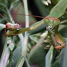 Mantis Death Match(2) ! by robkal