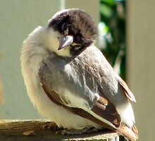 Grey Butcher Bird giving the cute look  by Angie66