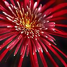 Gerbera.  by Baska