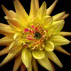 Dahlia Corona by Rewards4life