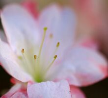 Soft Pink Azalea by Sea-Change