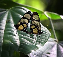 mating butterflys methona confusa by gruntpig